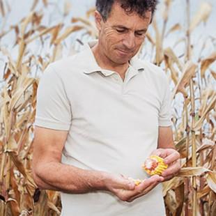 Kukuřice na zrno