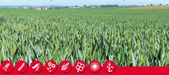 Pšenice web
